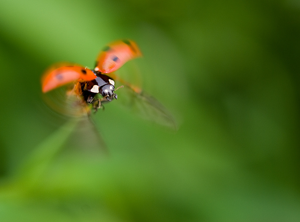 Photograph Ladybeetle by Christian E. on 500px
