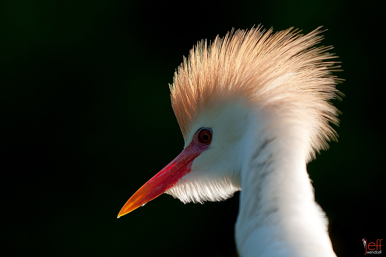 Photograph Punky Egret by Jeff Wendorff on 500px