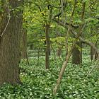 Paysage forestier avec floraison d'ail des ours (Allium ursinum) au mois de mai.