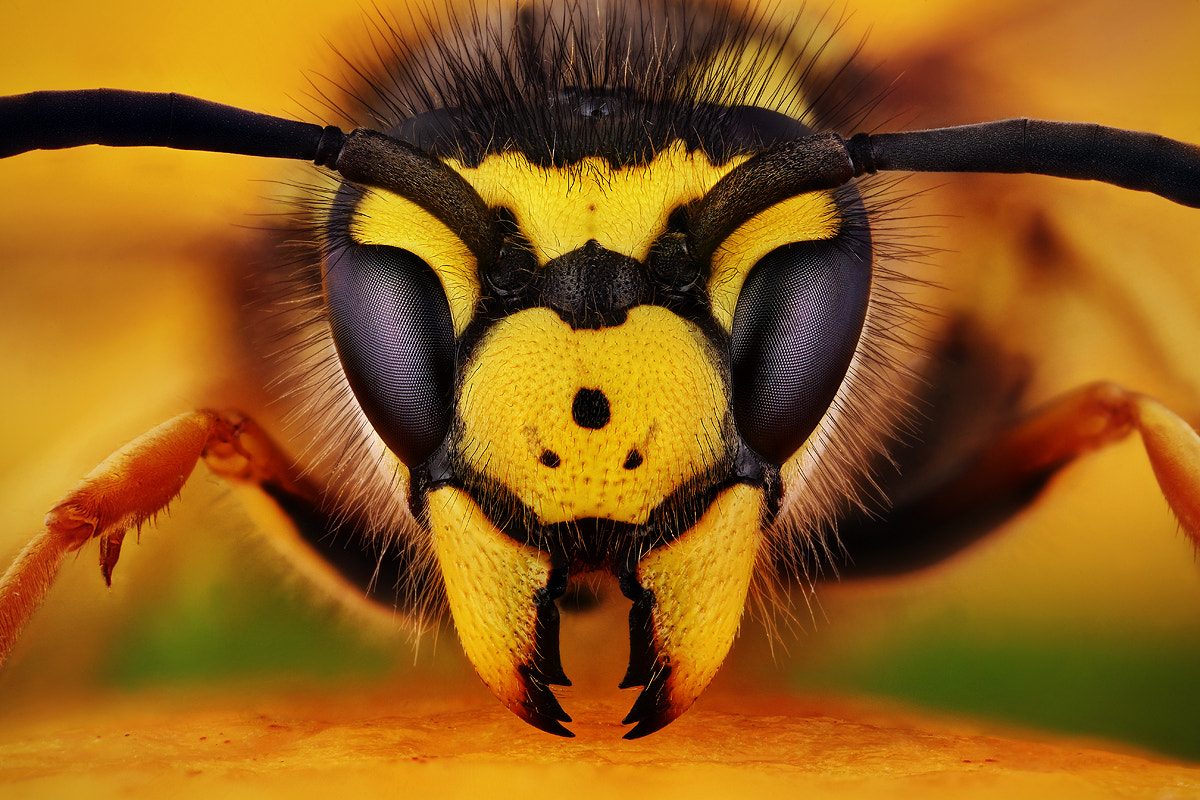 Photograph Vespula germanica by Dusan Beno on 500px