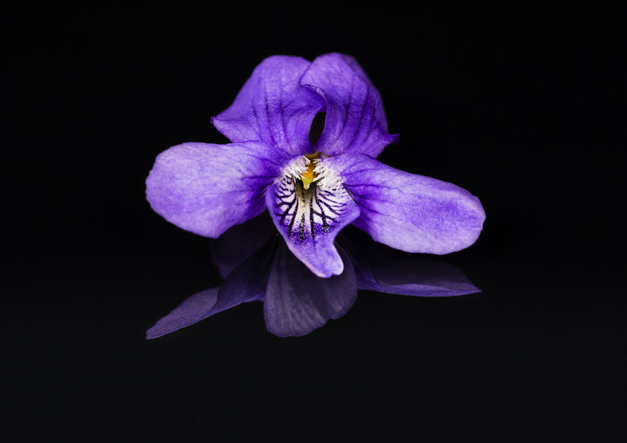 Viola Riviniana (Common Dog Violet) by James Johnstone on 500px.com