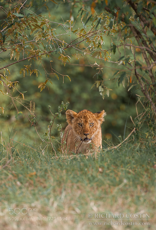 Photograph Lion Cub by Richard Costin on 500px
