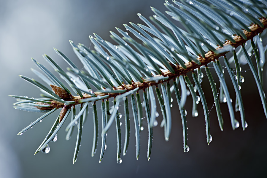 Spruce needles with water drops by Elena Elisseeva on 500px.com