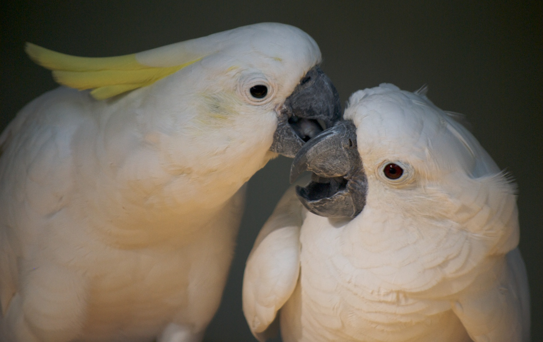 Photograph Cockatoo Couple by Tze-Meng Tan on 500px