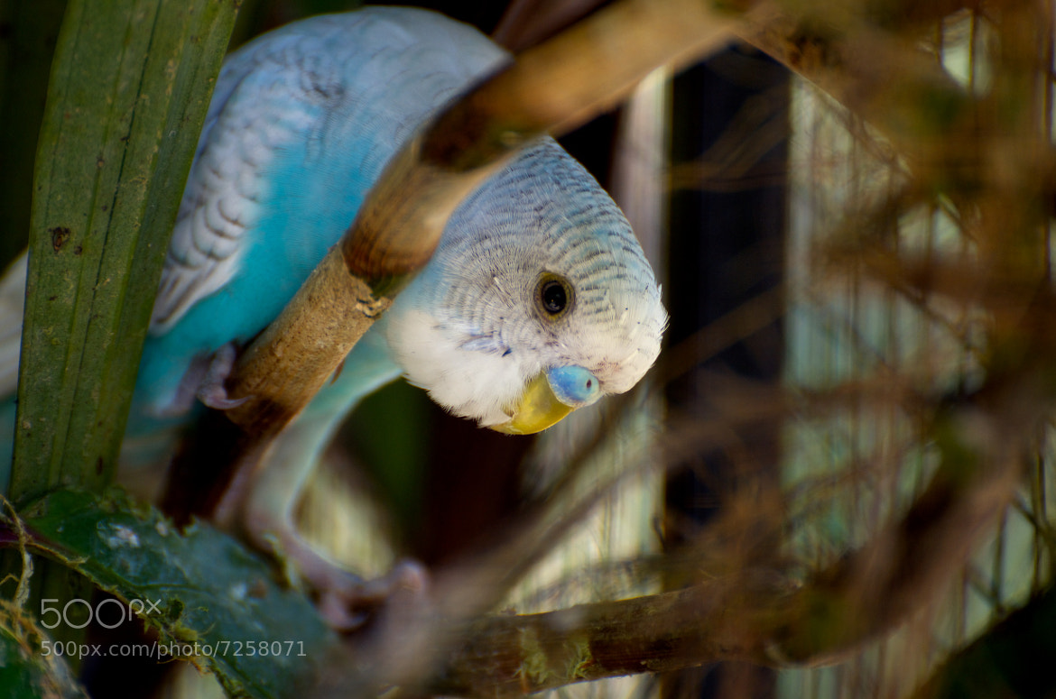 Photograph Budgerigar ? by Tze-Meng Tan on 500px