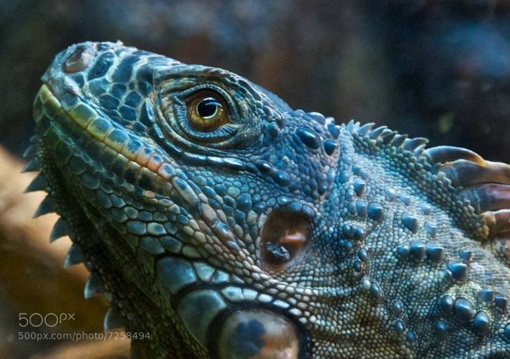 Photograph Iguana by Tze-Meng Tan on 500px