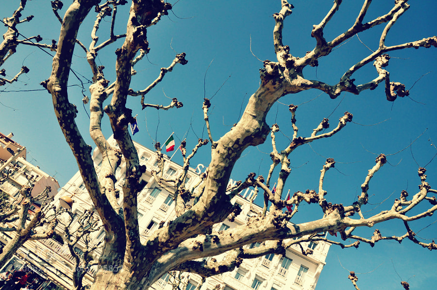 Cannes..has a string of these trees and the background just offres a lot of options...