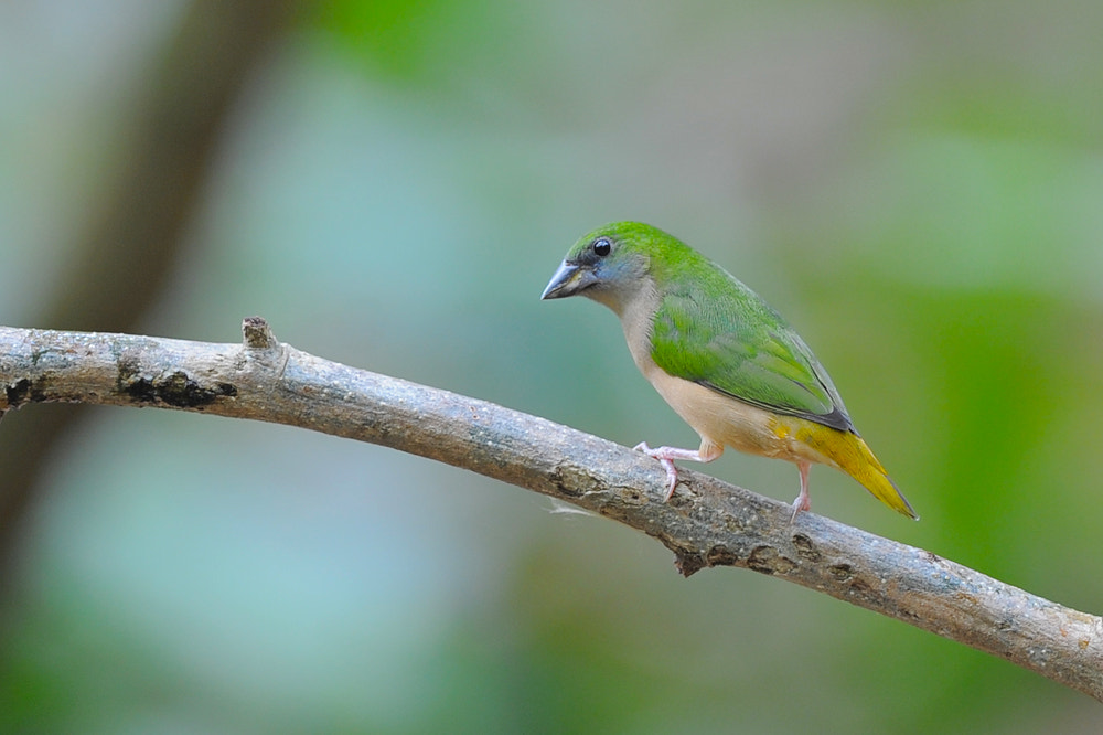 Photograph Pintailed Parrotfince by Noppakorn Nitkosakul on 500px