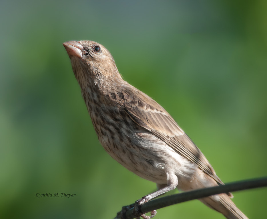 Photograph Female House Finch by Cynthia Mathre Thayer on 500px