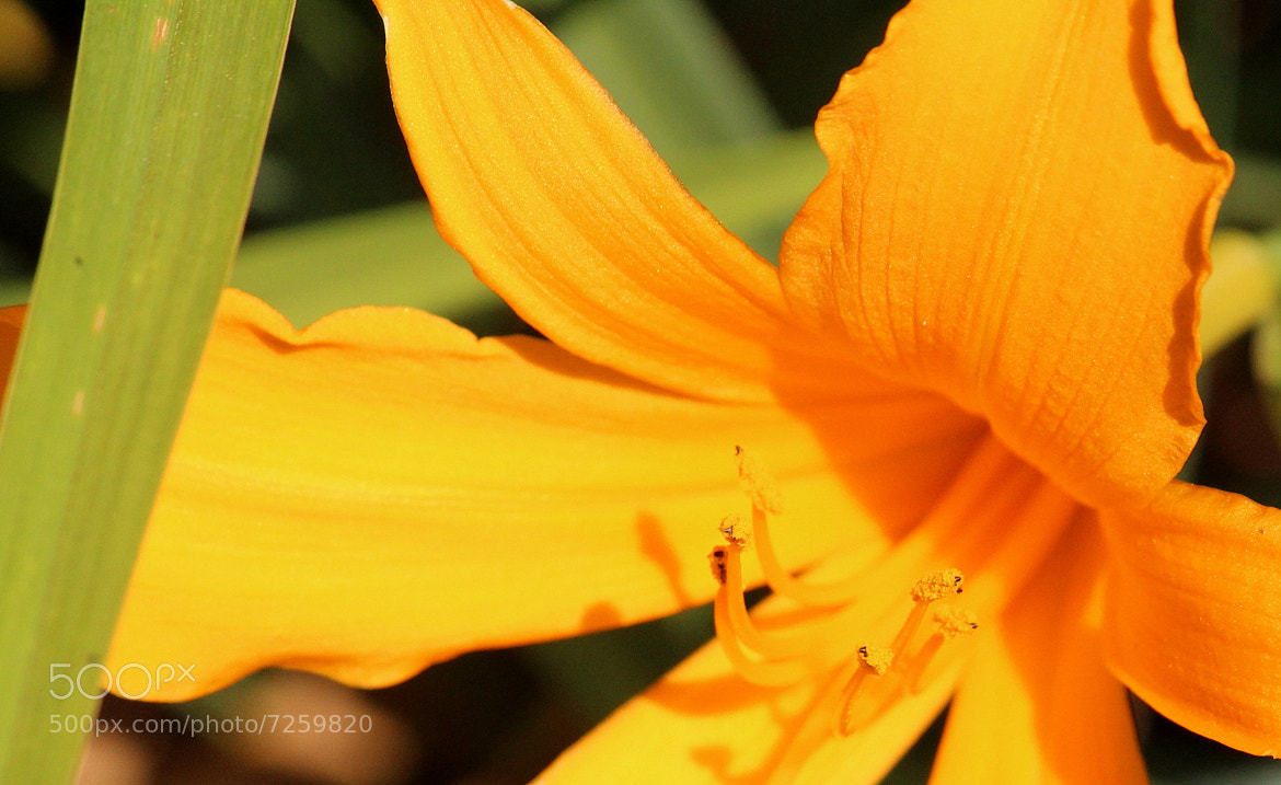 Photograph Orange Dayliliy by Patricia Martin on 500px