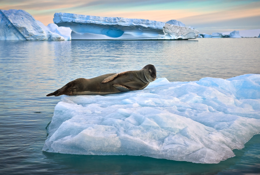 Photograph Leopard Seal sunning on iceberg in Ple?neau Bay by Mark Connell on 500px
