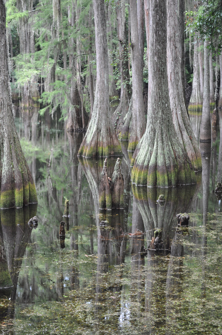 Photograph Cypress Beauty by Karen King on 500px