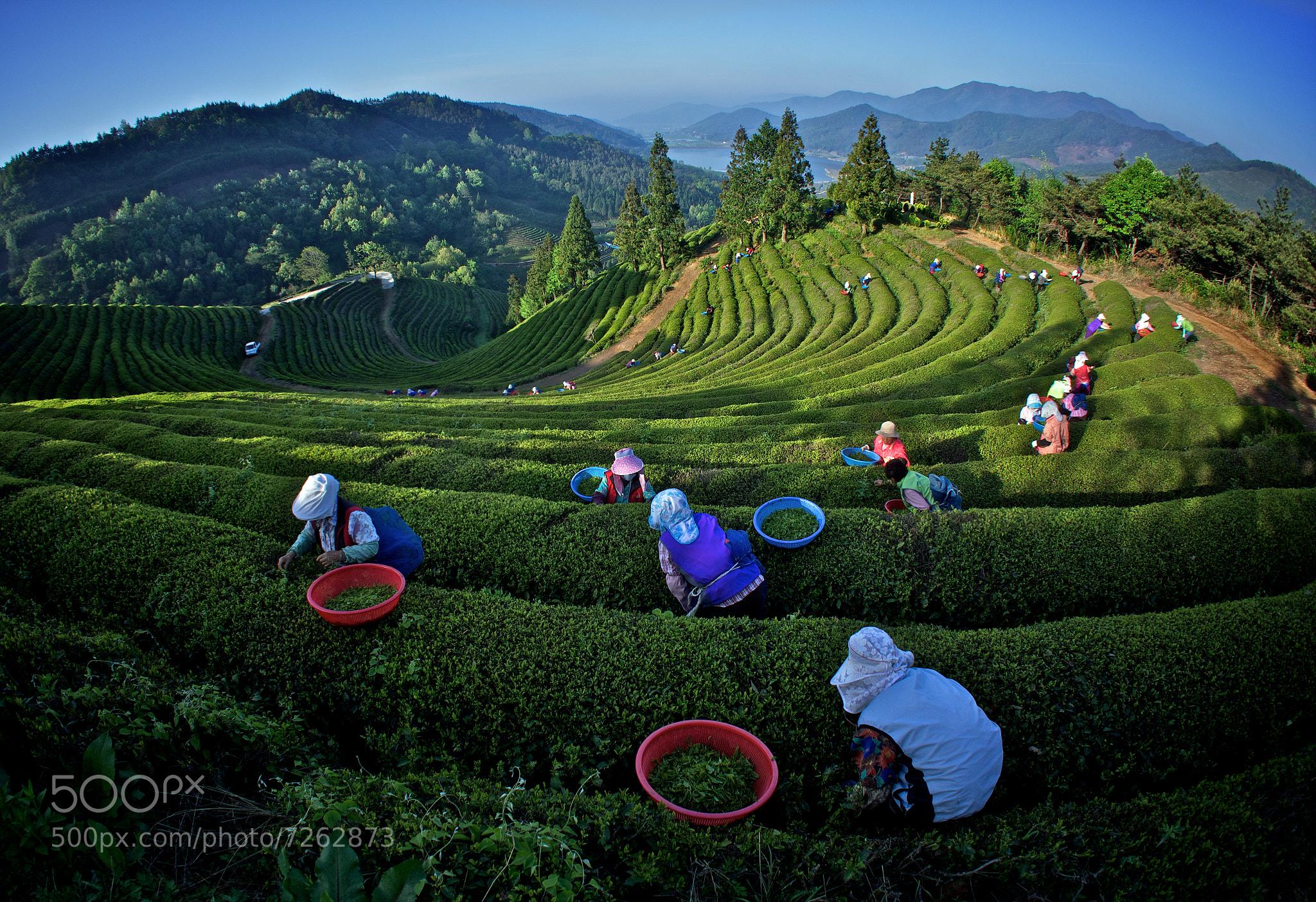 Photograph GreenTea Field in Korea by Jeong-Keun Kim on 500px