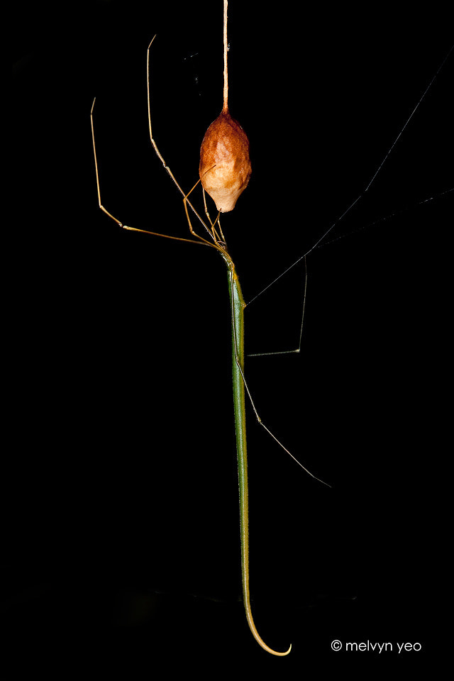 Photograph Ariamnes colubrinus (Whip Spider) by Melvyn Yeo on 500px