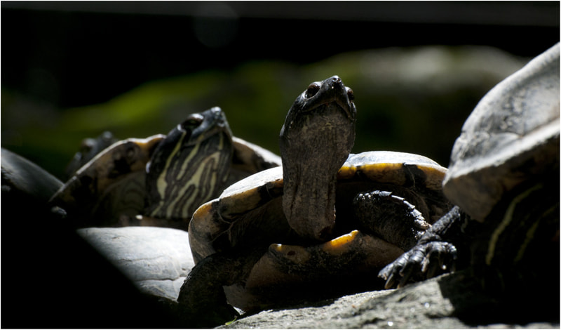 Photograph Turtles in the sun by Charlotte Vilrik on 500px