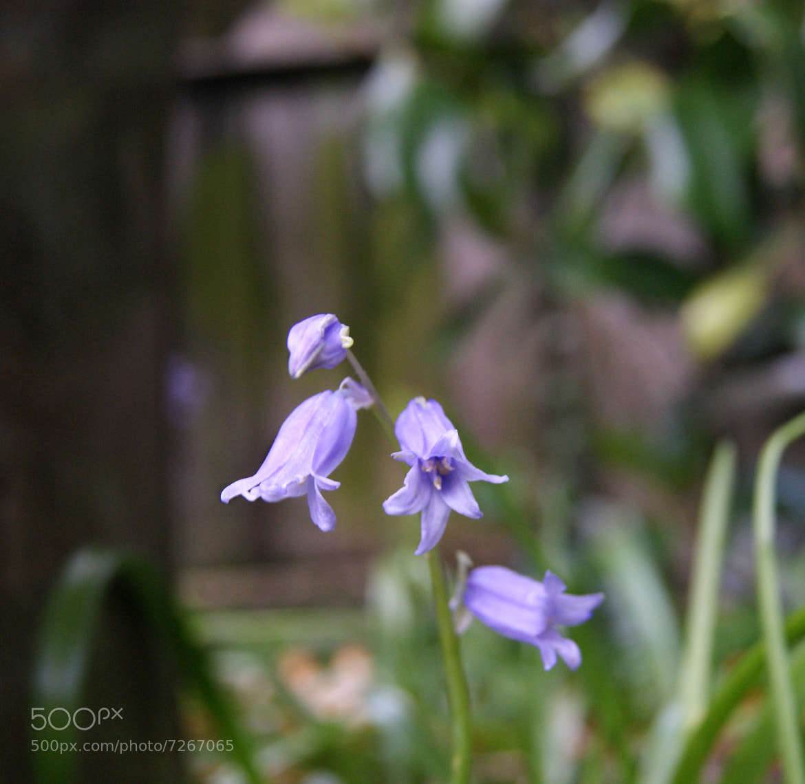 Photograph Bluebell  by Christopher Newton on 500px
