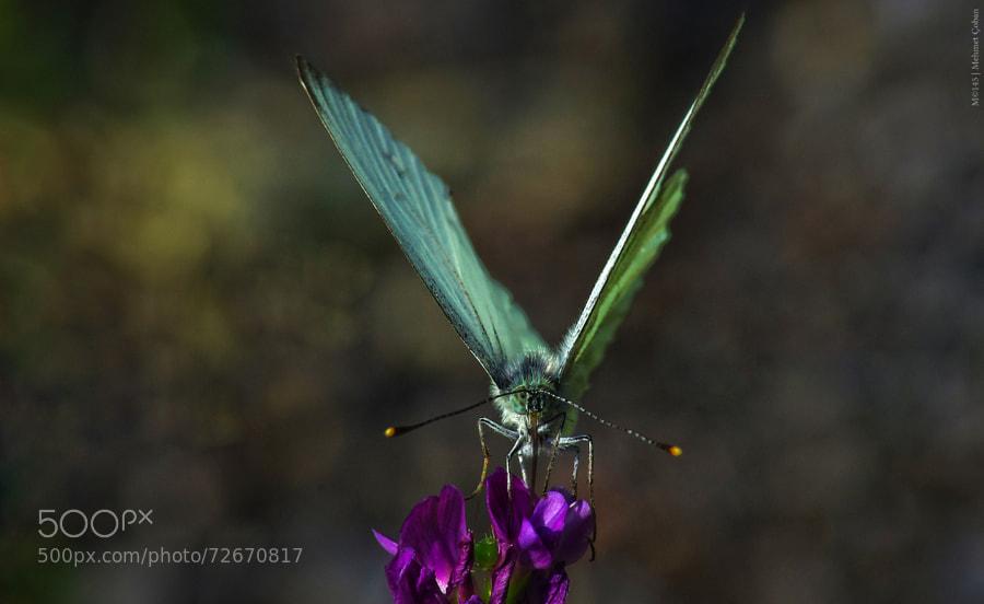 Photograph Mini Butterfly by Mehmet Çoban on 500px
