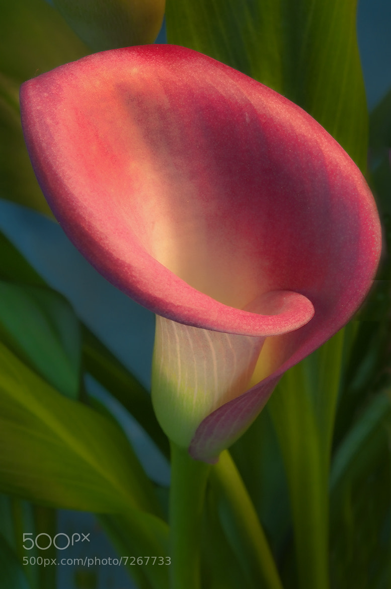 Photograph Cala Lily by Alan Borror on 500px