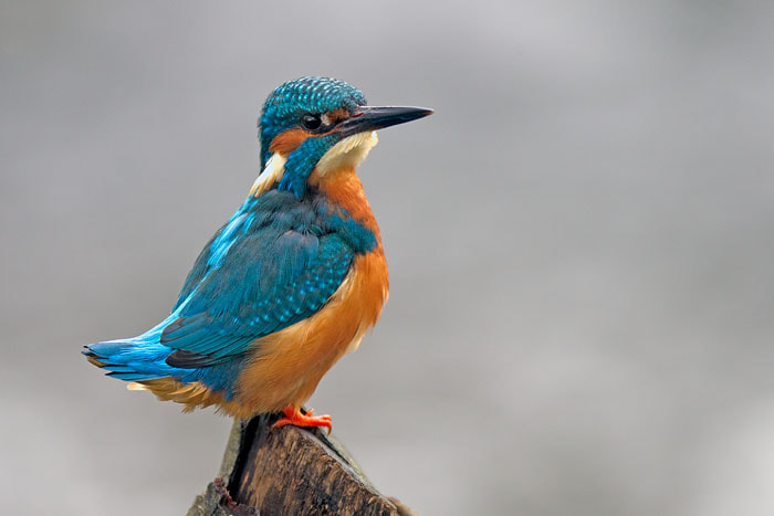 Photograph Kingfisher by Ian Cook on 500px