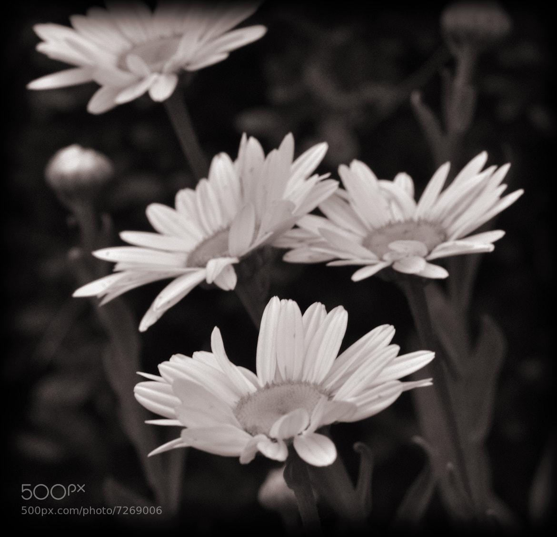 Photograph Shasta Daisy's by Mark Luftig on 500px