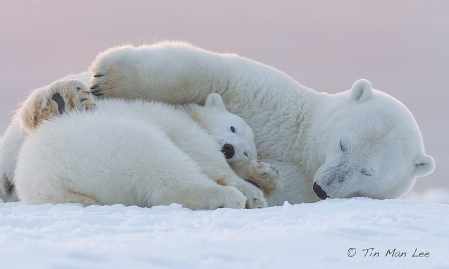 Photograph Sweet Embrace, Polar Bear by Tin Man on 500px