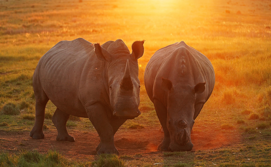 Sunset Rhino by Rudi Hulshof on 500px.com