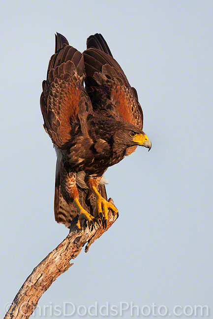 Photograph Harris Hawk by Christopher Dodds on 500px