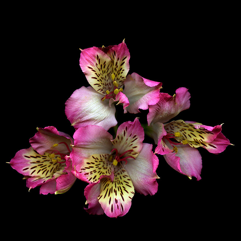 Photograph HABLA CON ELLA... Alstroemeria in the studio! by Magda Indigo on 500px