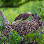 Постер, плакат: Bald Eagle Feeding Young