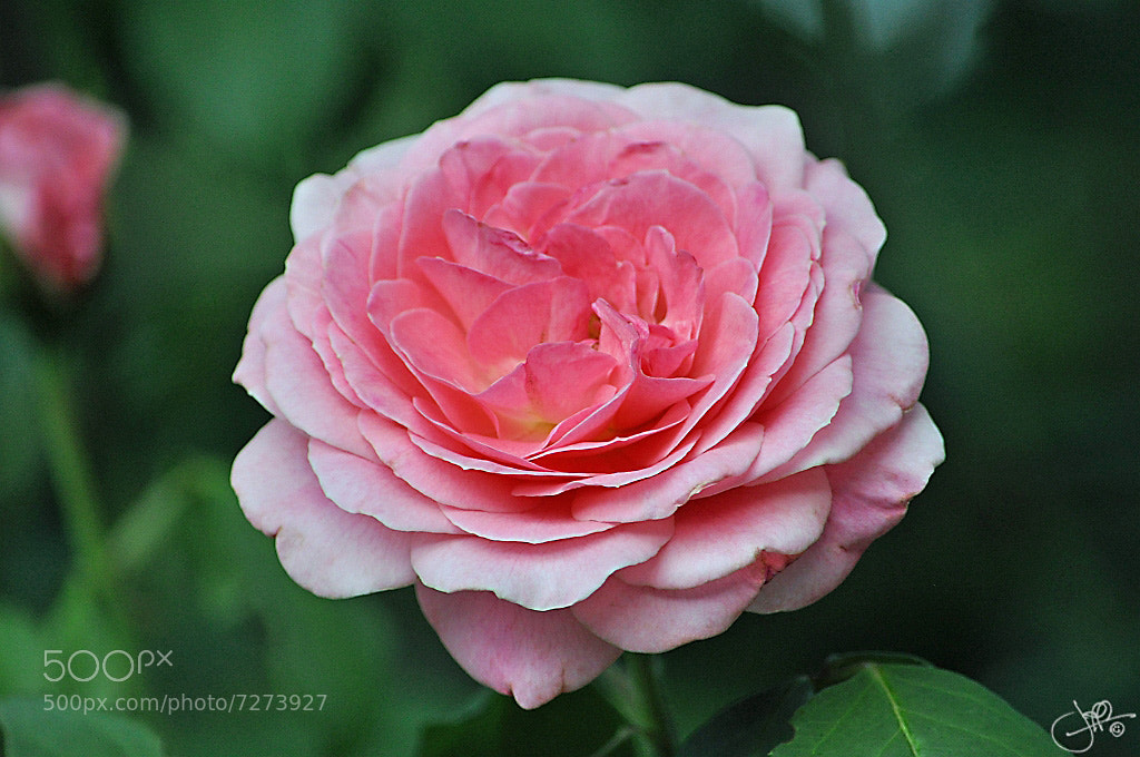 Photograph Gwynndolin's Rose by Jeff Jeter on 500px