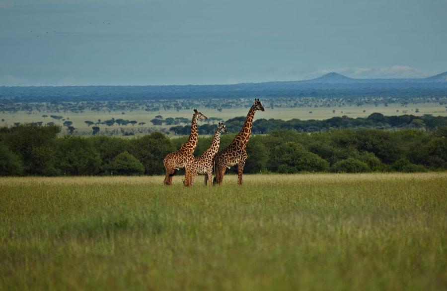 Giraffes by Keren Varon on 500px.com