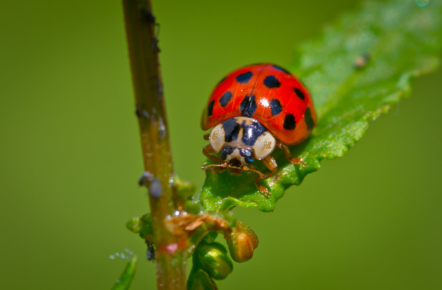 Ladybird up close by Darrell Raw on 500px