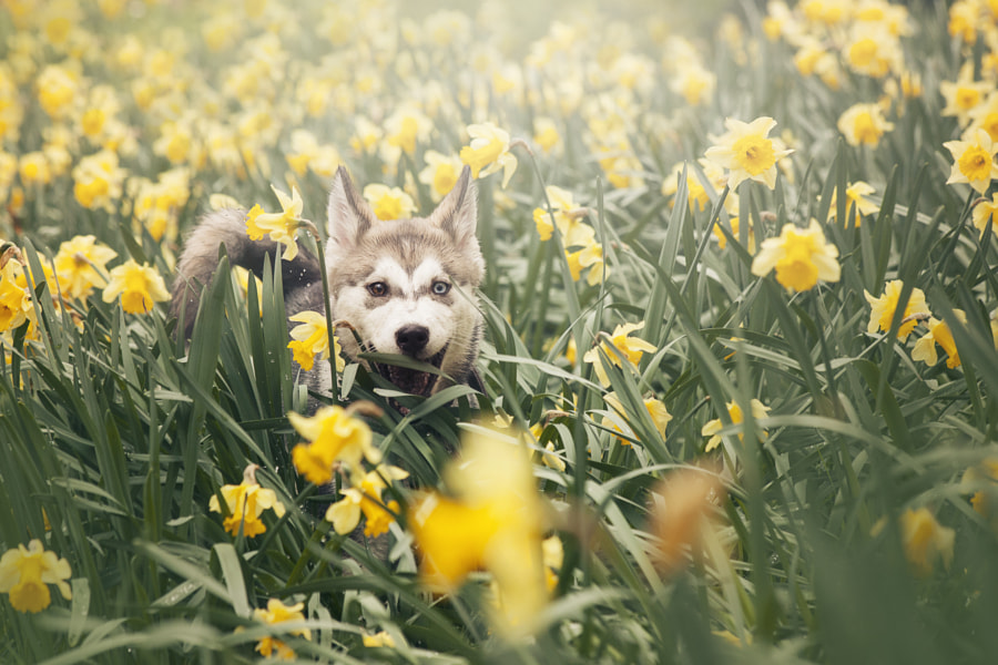 Puppy Images - Saskia in Daffodils by Alexandra Robins on 500px.com