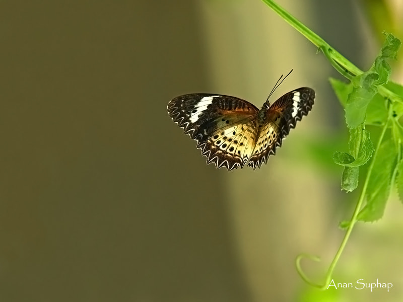 Photograph Leopard Lacewing by Anan Suphap on 500px
