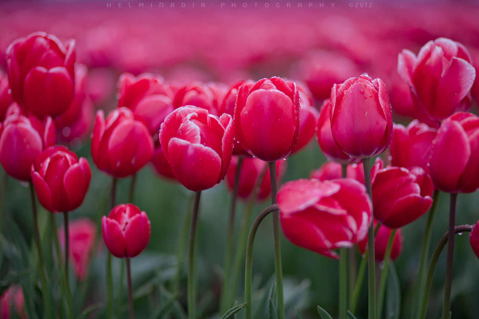 Photograph Tulip festival by Helminadia Ranford on 500px