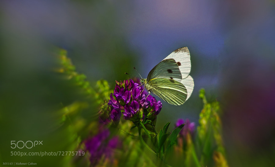 Photograph Butterfly wildflower by Mehmet Çoban on 500px