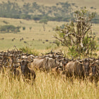 Постер, плакат: The Wildebeeste Migration