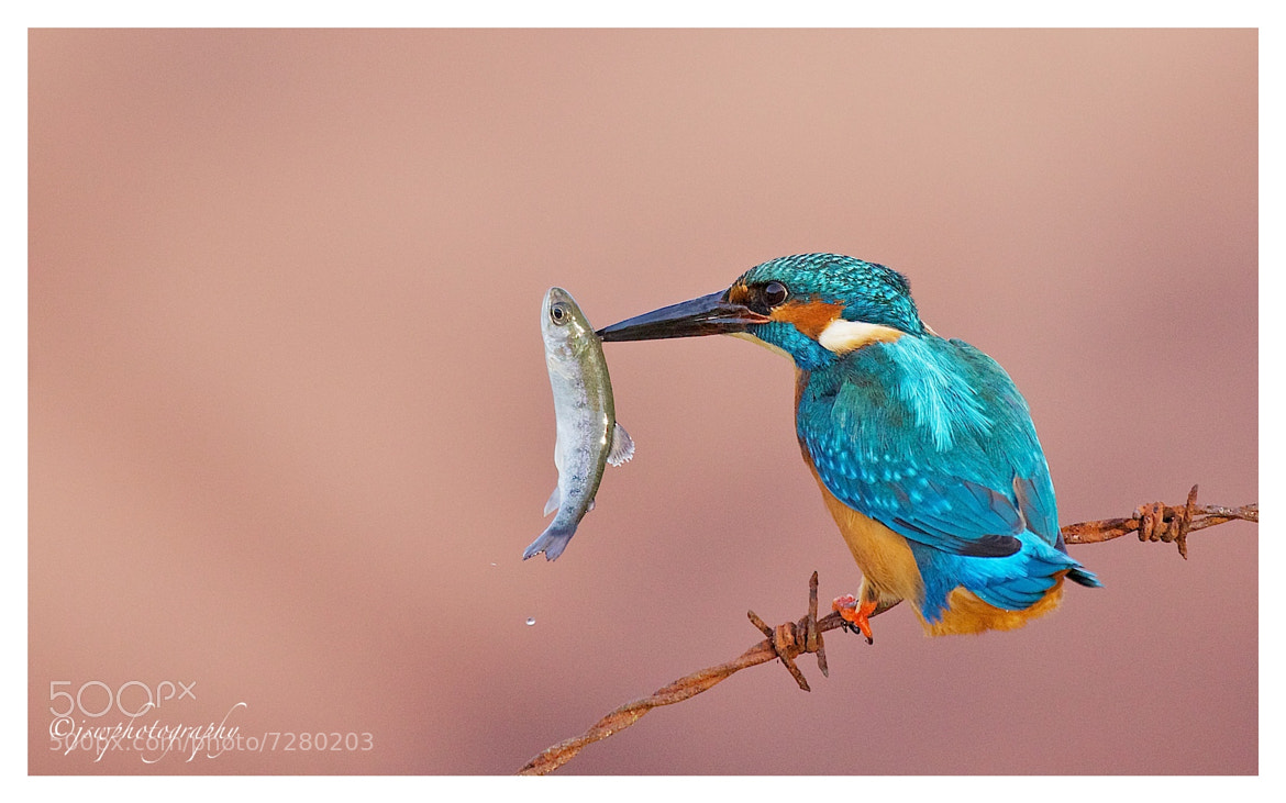 Photograph Kingfisher by Jason Wood on 500px