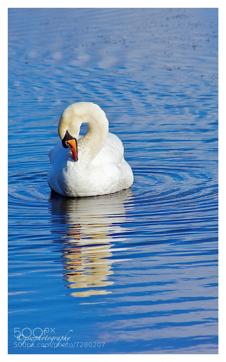 Photograph Mute Swan by Jason Wood on 500px