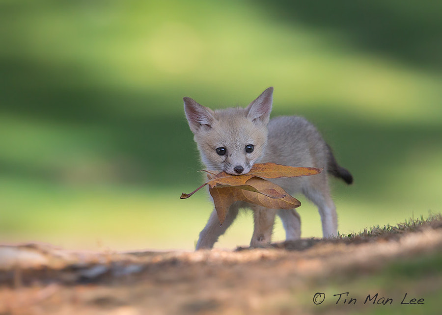 Photograph SJ Kit Fox Pup (Wild and Endangered) by Tin Man on 500px