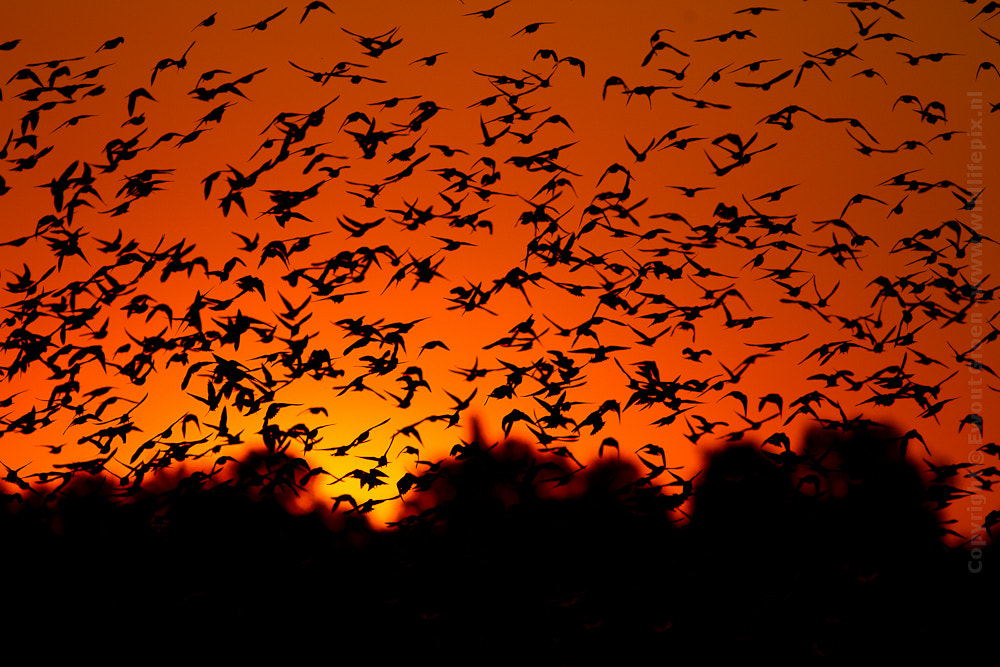 Photograph Starlings @ sunset by Ewout  on 500px