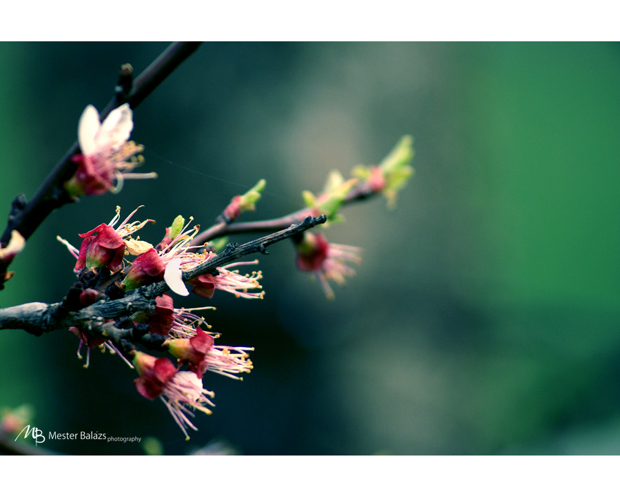 Photograph Blooming by Balazs M on 500px