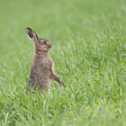 ������, ������: Brown Hare Leveret