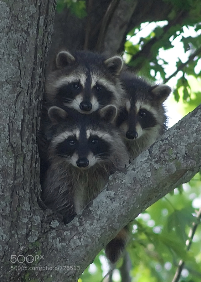These three young raccoons were rather curious about me and decided to pose for a family portrait while trying to figure me out.