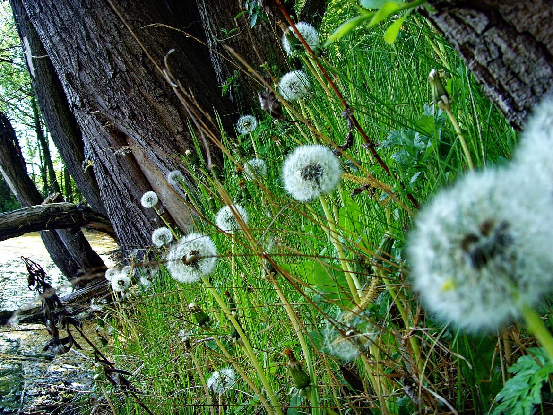 Photograph  Dandelion by Hiwa  on 500px