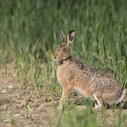 ������, ������: Brown Hare