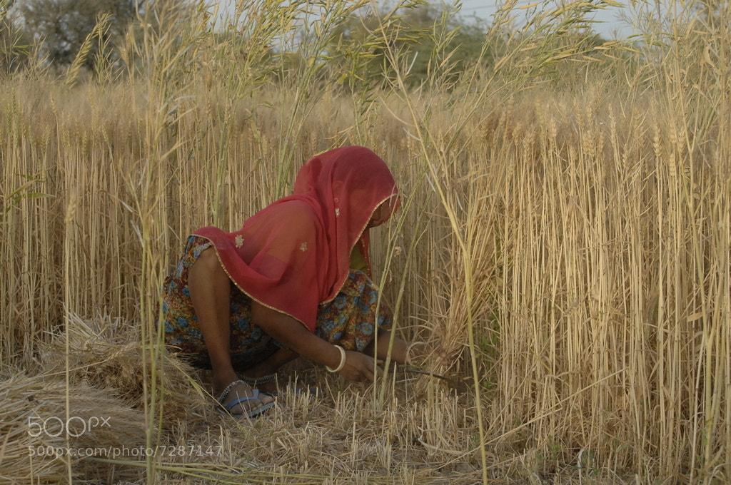 Photograph Days of harvest - Rajastan - India by Nissim Krispil on 500px