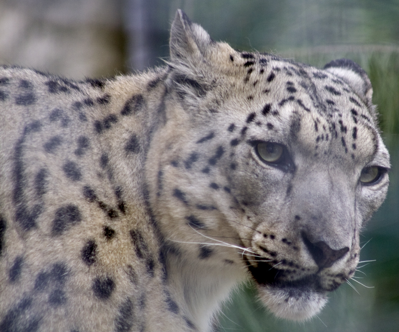 Photograph Snow Leopard_001 by Kelly Spellman on 500px