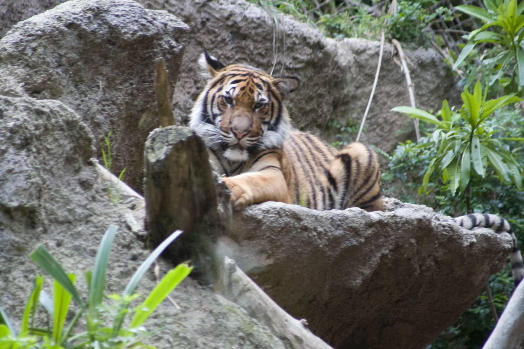 Photograph Tiger_000 by Kelly Spellman on 500px