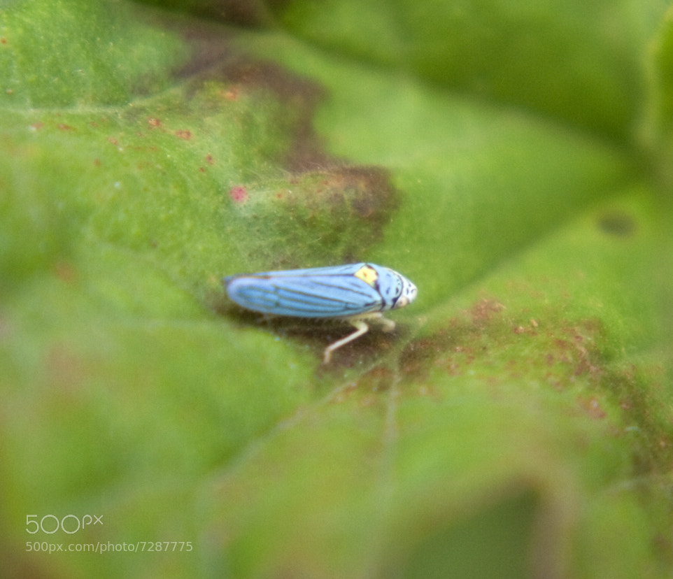Photograph Blue Bug_000 by Kelly Spellman on 500px